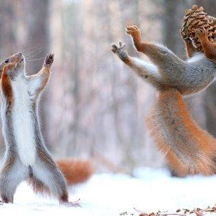 7/2/2015 - Το εντυπωσιακό καρέ στην διάρκεια της μάχης ανάμεσα σε δύο σκίουρους για ένα βελανίδι! Picture: Vadim Trunov/Solent - Κυρίως Φωτογραφία - Gallery - Video