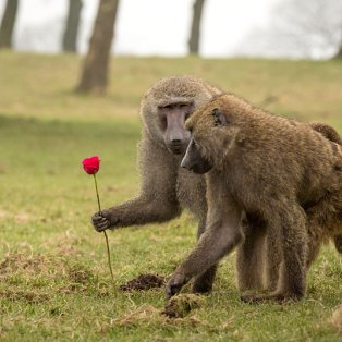 14/2/2015 - Ποιος σας είπε ότι τα ζώα δεν γιορτάζουν τον Αγ. Βαλεντίνο; Εκπληκτική φωτό με δύο μπαμπουίνους! Picture: Knowsley Safari Park - Κυρίως Φωτογραφία - Gallery - Video