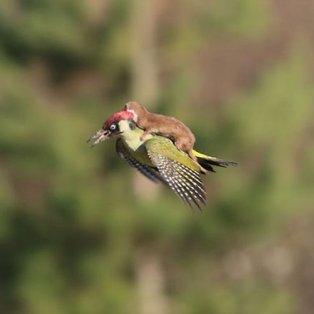 04/03/2015 - Μια τρελή, τρελή πτήση: Νυφίτσα πετάει μαζί με έναν τρυποκάρυδο!  - Κυρίως Φωτογραφία - Gallery - Video