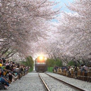 08/4/2015 - Eκπληκτική φωτό με το τραίνο να διασχίζει τις ράγες κάτω από τις ανθισμένες κερασίες στη Ν. Κορέα! Picture: Xinhua /Landov / Barcroft Media  - Κυρίως Φωτογραφία - Gallery - Video