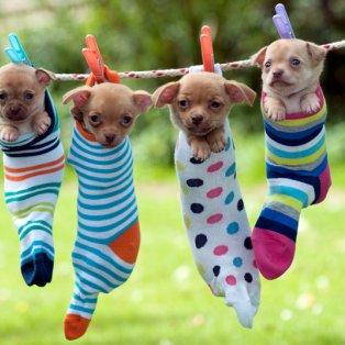 11/4/2015 - Εκπληκτική φωτό με τα κουτάβια να ποζάρουν όλο νάζι μέσα στις κρεμασμένες κάλτσες - Picture: JOHN DANIELS / ARDEA / CATERS NEWS - Κυρίως Φωτογραφία - Gallery - Video