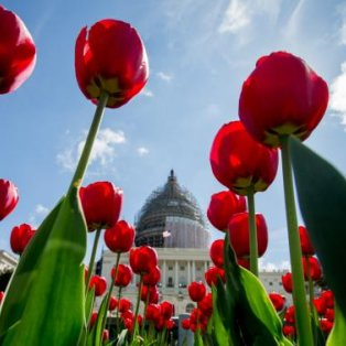 Πανέμορφο στιγμιότυπο με τις ανθισμένες τουλίπες να... στολίζουν το West Lawn στην Washington! AP Photo/Andrew Harnik - Κυρίως Φωτογραφία - Gallery - Video