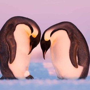 """Ζευγάρι πιγκουίνων στην Ανταρκτική δίνει """"μαθήματα αγάπης"""" στην ανθρωπότητα - Photo: Stefan Christmann  - Κυρίως Φωτογραφία - Gallery - Video"""