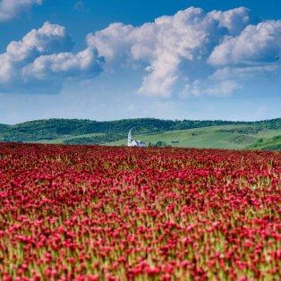 Απέραντες εκτάσεις με ανθισμένα κόκκινα τριφύλλια για την φωτό της ημέρας μας! -  Péter Komka/EPA - Κυρίως Φωτογραφία - Gallery - Video