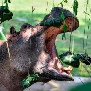 Η ώρα του φαγητού ήρθε για έναν ιπποπόταμο στην Κίνα, που ανοίγει το τεράστιο στόμα του για να φάει dumplings – Getty Images - Κυρίως Φωτογραφία - Gallery - Video