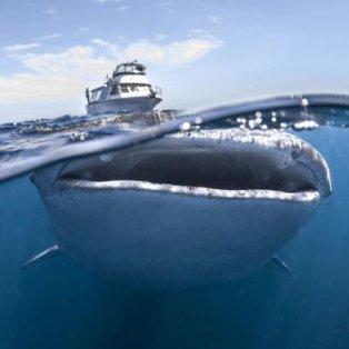 Φωτό Ημέρας: Φάλαινα 8 μέτρων κολυμπάει έχοντας στην ράχη της ένα τουριστικό πλοιάριο – Credits: Ocean Collective Media/ Swins.com - Κυρίως Φωτογραφία - Gallery - Video
