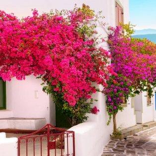 Υπέροχη Ελλάδα: Ανθισμένες βουκαμβίλιες στα σοκάκια της Πάρου/ Photo: Christina Touloumtzidou/ instagram - Κυρίως Φωτογραφία - Gallery - Video