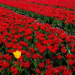 H κίτρινη τουλίπα, πανέμορφη και διαφορετική ξεφύτρωσε ανάμεσα σε χιλιάδες κόκκινες, παραμονή Πρωτομαγιάς – Credits: Valerio Berdini/ REX - Κυρίως Φωτογραφία - Gallery - Video