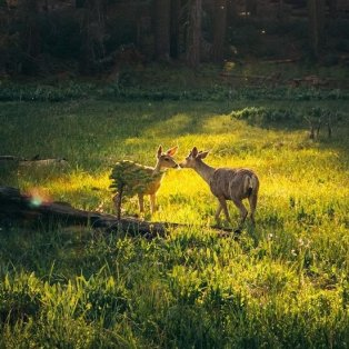 Φωτό ημέρας: Δύο ελάφια που φιλιούνται στο Εθνικό Πάρκο Sequoia της Καλιφόρνια - Η φύση είναι μαγική/ @emmett_sparling - Κυρίως Φωτογραφία - Gallery - Video