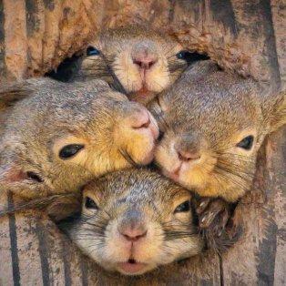Οι γλύκες της ημέρας! 4 ''πανέξυπνα'' σκιουράκια προσπαθούν να βγουν μαζί από τρύπα δέντρου  - Credits: Swins - Cambridge   - Κυρίως Φωτογραφία - Gallery - Video