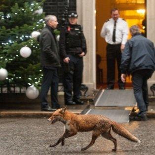 17/12/14 - Μια αλεπού σουλατσάρει έξω από το πρωθυπουργικό γραφείο του Λονδίνου! Δείτε την! - Κυρίως Φωτογραφία - Gallery - Video