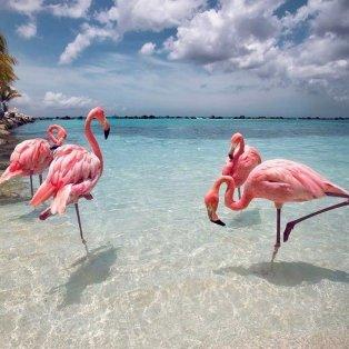 Φωτό ημέρας τα πανέμορφα ροζ φλαμίνγκο της Καραϊβικής - σκέτη μαγεία / @great_pho  - Κυρίως Φωτογραφία - Gallery - Video