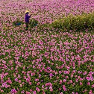 Μύρισε Άνοιξη! Φωτό ημέρας ένα χωράφι από ροζ υάκινθους /@vietsui  - Κυρίως Φωτογραφία - Gallery - Video