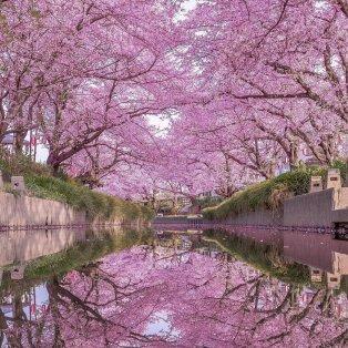 Όνειρο η ανθισμένη Σαϊτάμα της Ιαπωνίας /@number_shiiix  - Κυρίως Φωτογραφία - Gallery - Video