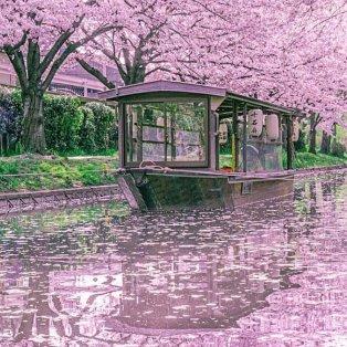 Φωτό ημέρας οι ανθισμένες κερασιές στο Κιότο της Ιαπωνίας /@ramumi8 - Κυρίως Φωτογραφία - Gallery - Video