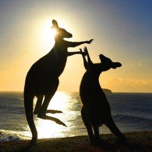 Δύο καγκουρό παίζουν στην παραλία Emerald της Νέας Νότιας Ουαλίας, στην Αυστραλία - Φωτογραφία: EPA / DAVE HUNT - Κυρίως Φωτογραφία - Gallery - Video