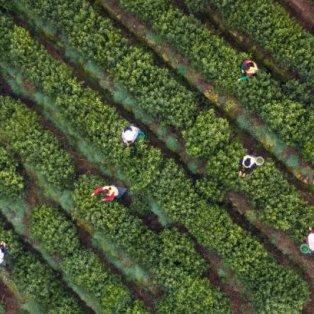 Ανοιξιάτικη εικόνα: Μαζεύουν τσάι σε έναν πανέμορφο αγρό στην Κίνα - Credits: XINHUA/ BARCROFT IMAGES  - Κυρίως Φωτογραφία - Gallery - Video