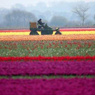 Πανδαισία χρωμάτων σε χωράφι από τουλίπες  - Ο αγρότης προσπαθεί να το καθαρίσει: Credits: Paul Marriot - Κυρίως Φωτογραφία - Gallery - Video