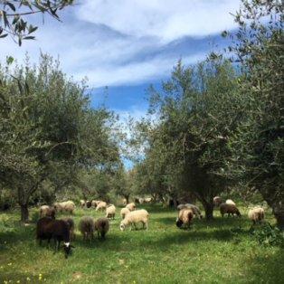 Από την υπέροχη φύση, Κρήτη σε μια εικόνα με τα πολυαγαπημένα αρνάκια που κάλο είναι να αφήσουμε ήσυχα...  - Κυρίως Φωτογραφία - Gallery - Video