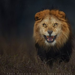 12/4/15: Στο τσακ γλίτωσε τον θάνατο ο φωτογράφος που τράβηξε αυτή τη φωτό του αγριεμένου λιονταριού! - Κυρίως Φωτογραφία - Gallery - Video