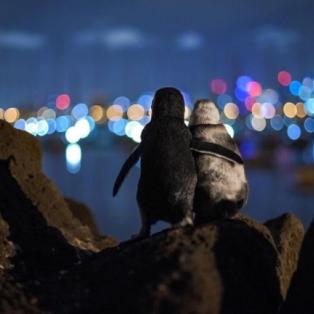 Φωτό Ημέρας οι δύο πιγκουίνοι αγκαλιά από τον διαγωνισμό Ocean Photography Awards - Μαγική λήψη/Tobias Baumgaertner - Κυρίως Φωτογραφία - Gallery - Video