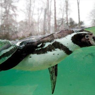 Υπέροχος πιγκουινάκος Humboldt κολυμπάει ανέμελα στο ζωολογικό πάρκο Beauval στην κεντρική Γαλλία - Φωτογραφία: REUTERS / BENOIT TESSIER - Κυρίως Φωτογραφία - Gallery - Video
