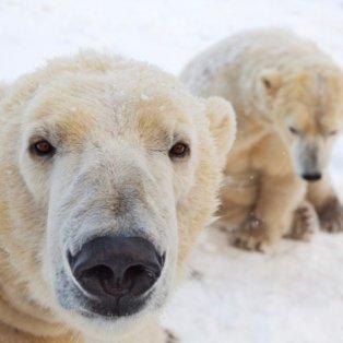 4/2/15 - Αυτές οι πολικές αρκούδες στο Highland Wildlife Park της Σκωτίας απολαμβάνουν το χιόνι & νιώθουν σαν στο φυσικό τους περιβάλλον! Φωτό: Mac Leod - Guardian - Κυρίως Φωτογραφία - Gallery - Video