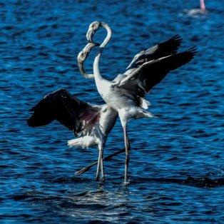 Φλαμίνγκο στην λιμνοθάλασσα της Λευκάδας - Ενώνουν τους λαιμούς τους και δημιουργούν την τέλεια καρδιά Eurokinissi/ Γιώργος Ευσταθίου - Κυρίως Φωτογραφία - Gallery - Video