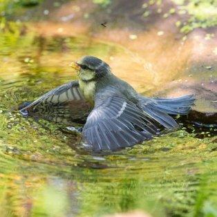 Το καλοκαίρι είναι εδώ και το μικρό πουλάκι δροσίζεται σε μια λιμνούλα στο Stirlingshire της Σκωτίας  - KAY ROXBY - Κυρίως Φωτογραφία - Gallery - Video