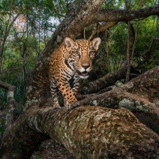 Το μοναδικό και άγριο βλέμμα ενός ιαγουάρου (Φωτό: Best Photos of 2017 / My Modern MET)  - Κυρίως Φωτογραφία - Gallery - Video
