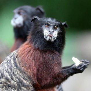 Στο Νησί των Μαϊμούδων, στο Περού - Φωτογραφία: EPA / Ernesto Arias - Κυρίως Φωτογραφία - Gallery - Video