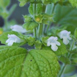 Χαρούπι, μάραθος και μελισσόχορτο : Τα Ελληνικά αρωματικά και φαρμακευτικά φυτά θεραπεύουν & δίνουν δύναμη  - Κυρίως Φωτογραφία - Gallery - Video