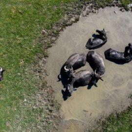 Συναρπαστικές αεροφωτογραφίες από τα βουβάλια που βόσκουν στις όχθες της λίμνης Κερκίνης  (Φωτό)  - Κυρίως Φωτογραφία - Gallery - Video
