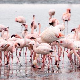 Το ατελείωτο καλοκαίρι των ροζ φλαμίνγκο στην Χαλκιδική – Καρέ – καρέ το πέταγμα τους από τον σκηνοθέτη Γιώργο Παπαδόπουλο (βίντεο) - Κυρίως Φωτογραφία - Gallery - Video